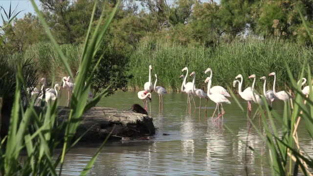 ms greater flamingoes (phoenicopterus roseus) and otters (lutra lutra) at camargue regional park / provence-alpes-cote d'azur, france - european otter stock videos & royalty-free footage