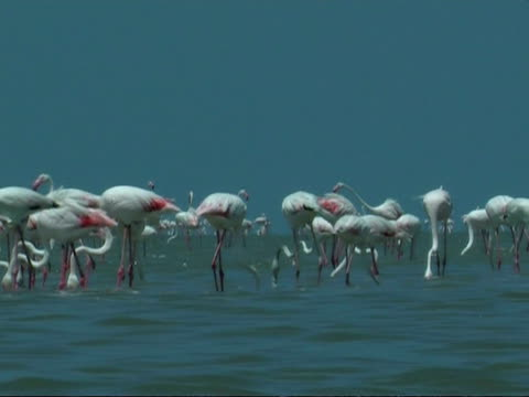 greater flamingoes (phoenicopterus roseus) feeding in colony, south india - lunghezza video stock e b–roll
