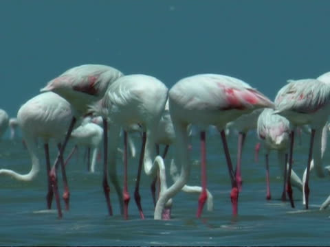 greater flamingoes (phoenicopterus roseus) feeding in shallow water, south india - lunghezza video stock e b–roll