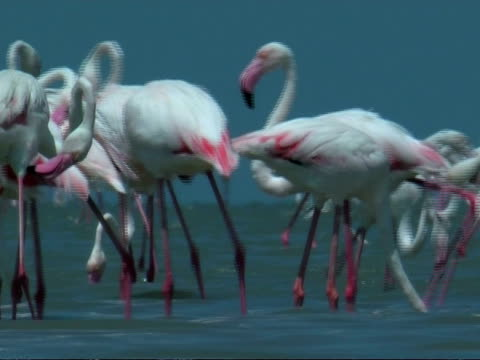 greater flamingoes (phoenicopterus roseus) feeding, south india - 長さ点の映像素材/bロール
