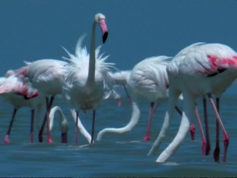 greater flamingoes (phoenicopterus roseus) feeding, south india - lunghezza video stock e b–roll