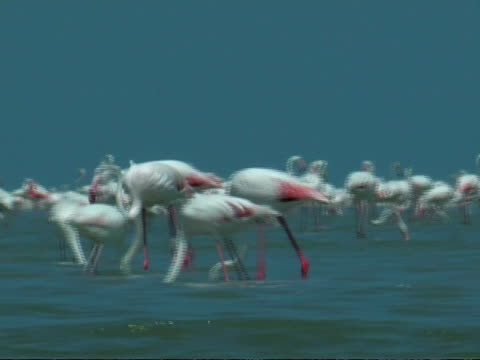 greater flamingoes (phoenicopterus roseus), south india - lunghezza video stock e b–roll
