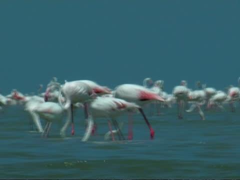 greater flamingoes (phoenicopterus roseus), south india - 長さ点の映像素材/bロール