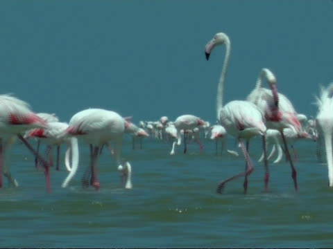 greater flamingoes (phoenicopterus roseus) walking around and feeding in shallow water, south india - lunghezza video stock e b–roll