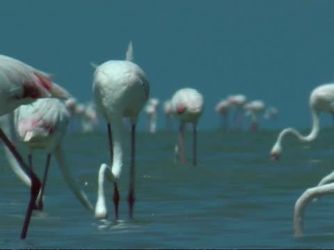 greater flamingoes (phoenicopterus roseus) walking around and feeding in shallow water, south india - 長さ点の映像素材/bロール