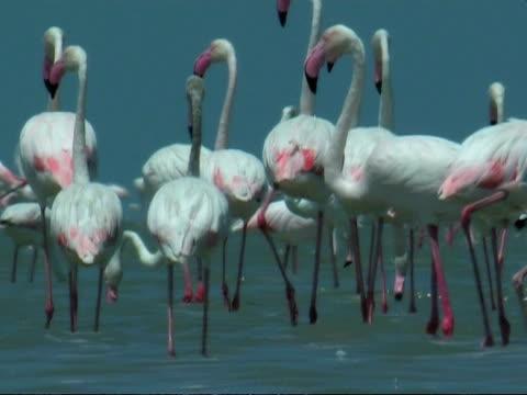 greater flamingoes (phoenicopterus roseus) walking away from camera, south india - 長さ点の映像素材/bロール
