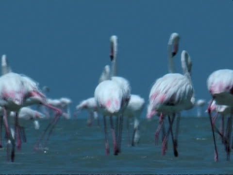greater flamingoes (phoenicopterus roseus) walking through shallow water, south india - shallow stock videos and b-roll footage
