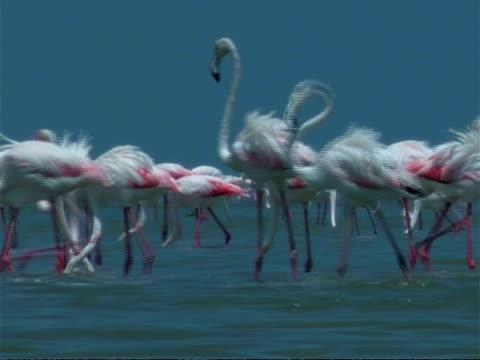 greater flamingoes (phoenicopterus roseus) walking through shallow water, south india - 長さ点の映像素材/bロール