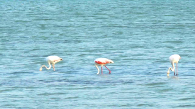 greater flamingos in water - foraging stock videos & royalty-free footage