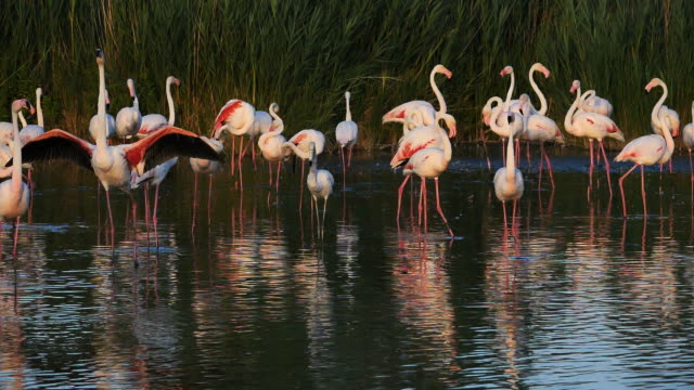 greater flamingos, phoenicopterus roseus,pont de gau,camargue, france - camargue stock-videos und b-roll-filmmaterial