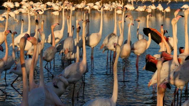 greater flamingos, phoenicopterus roseus,pont de gau,camargue, france - 4k resolution stock videos & royalty-free footage