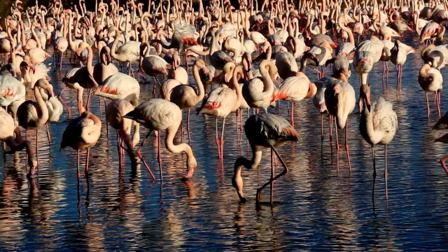 greater flamingos (phoenicopterus roseus), pont de gau, camargue, france - colony group of animals stock videos & royalty-free footage