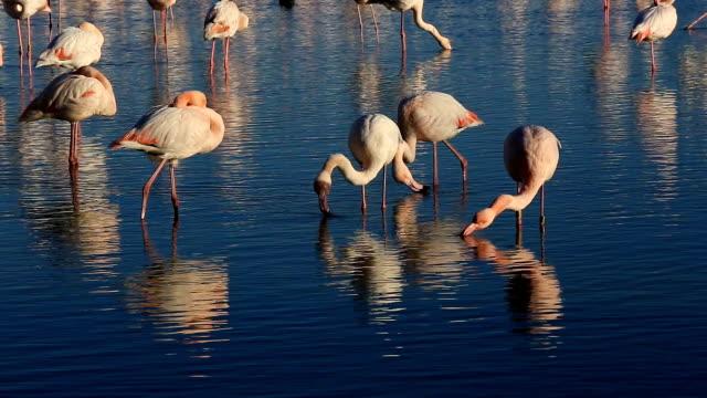 Greater Flamingos (Phoenicopterus roseus), Pont de Gau, Camargue, France