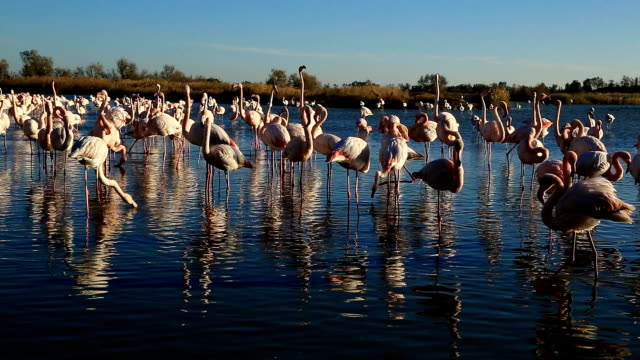 greater flamingos (phoenicopterus roseus), pont de gau, camargue, france - large group of animals stock videos and b-roll footage
