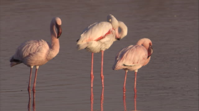 stockvideo's en b-roll-footage met greater flamingos preen and wade in a lake. available in hd. - waden
