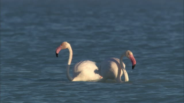 Greater flamingos (Phoenicopterus ruber) wade and feed in Lake Tsimanampetsotsa, Madagascar