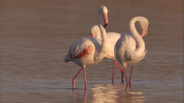 greater flamingos wade in a shallow lake. available in hd. - タンザニア点の映像素材/bロール