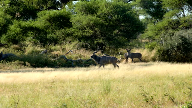 Greater Kudu antelope