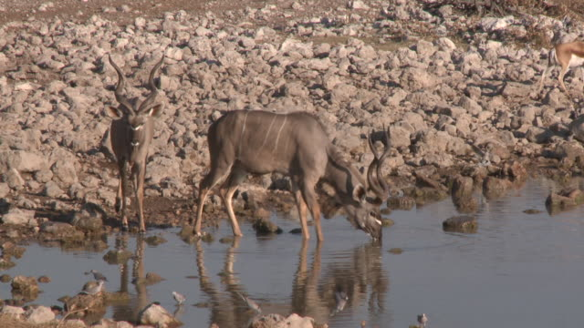 Greater Kudu (Tragelaphus strepsiceros) bulls drinking at waterhole, Etosha National Park, Namibia