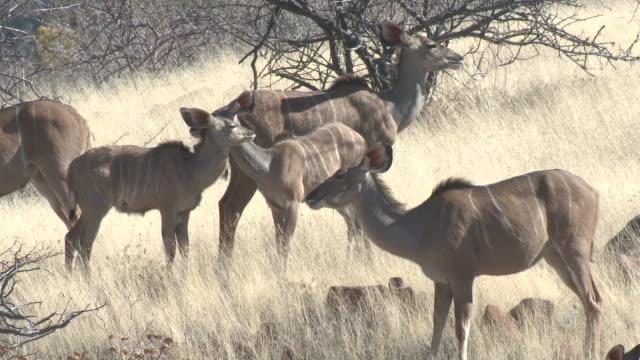Greater Kudu (Tragelaphus strepsiceros), Groot Berg, Namibia