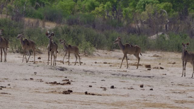 greater kudu (tragelaphus strepsiceros)  hwange national park  ‬ zimbabwe - herbivorous stock videos & royalty-free footage