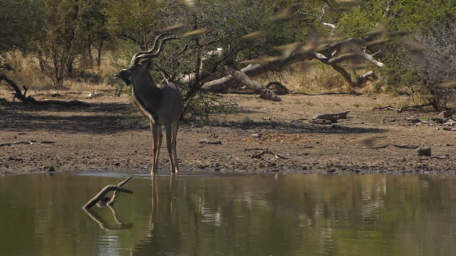 Greater Kudu Male Drinking in Waterhole