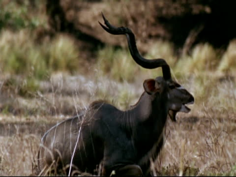 MCU Greater Kudu side view, male lying on ground, chewing, heat haze grass and tree background, Mana Pools, Zimbabwe