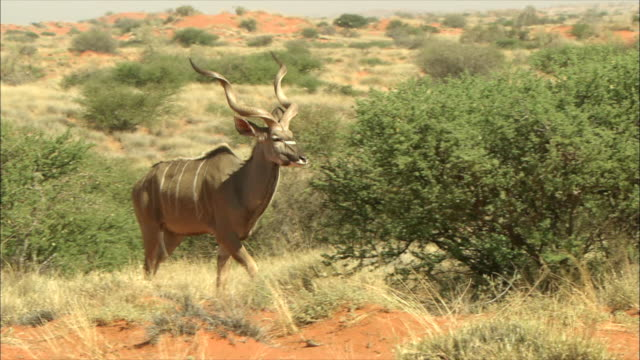 MS TS Greater kudu walking / Kalahari, Northern Cape, South Africa