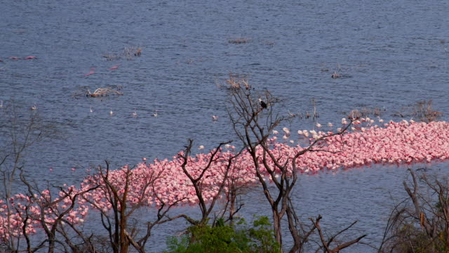 greater & lesser flamingos on lake bogoria baringo county  kenya  africa - african fish eagle stock videos & royalty-free footage
