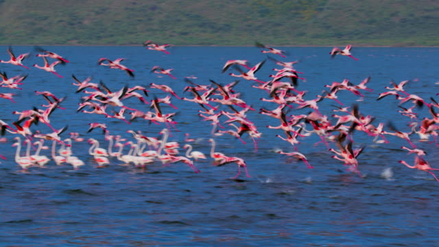 greater & lesser flamingos on lake bogoria baringo county  kenya  africa - flamingo bird stock videos & royalty-free footage