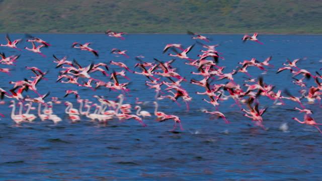 vidéos et rushes de greater & lesser flamingos on lake bogoria baringo county  kenya  africa - oiseau