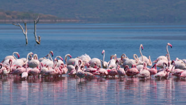 vídeos de stock, filmes e b-roll de greater & lesser flamingos on lake bogoria baringo county  kenya  africa - vadear