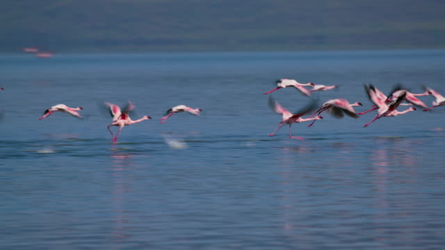 greater & lesser flamingos take off from lake bogoria baringo county  kenya  africa - flamingo bird stock videos & royalty-free footage