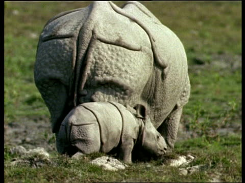 MS Greater One-horned Rhinoceros baby walking alongside mother, Away from camera, India