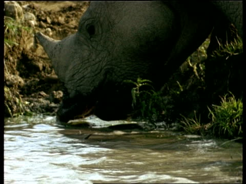 CU Greater One-horned Rhinoceros drinking, India