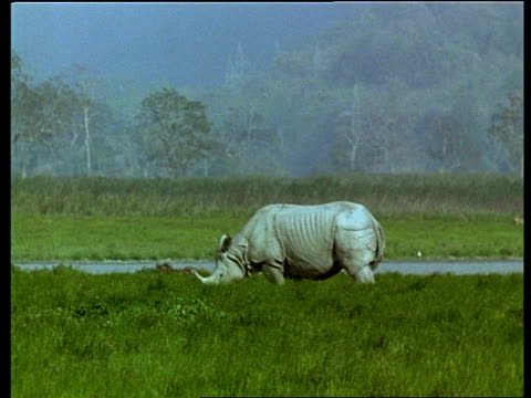 mwa greater one-horned rhinoceros grazing, india - one animal stock videos & royalty-free footage