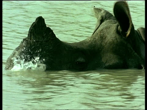 cu greater one-horned rhinoceros head half submerged in water, india - horned stock videos & royalty-free footage