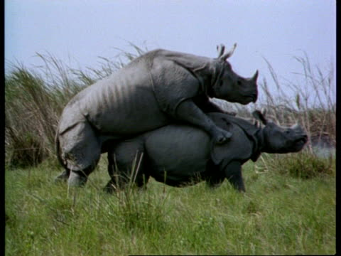 ms 2 greater one-horned rhinoceros mating, female struggling, india - posizione descrittiva video stock e b–roll