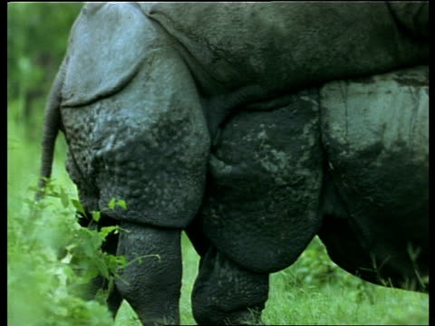 vídeos de stock, filmes e b-roll de cu 2 greater one-horned rhinoceros mating, india - female animal