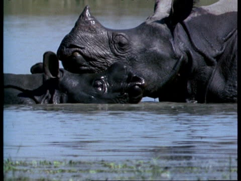 MCU Greater One-Horned Rhinoceros mother and baby nuzzling in water, India