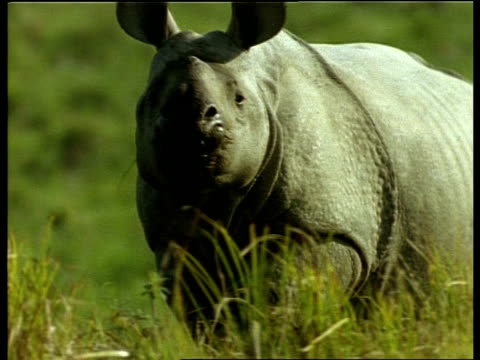 MCU Greater One-horned Rhinoceros walking through grass, looking to camera, India