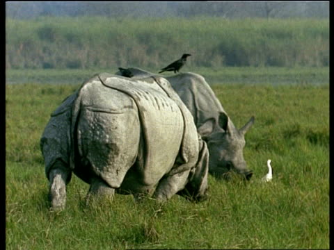ms 2 greater one-horned rhinoceros with birds on their backs, grazing, india - piggyback stock videos & royalty-free footage