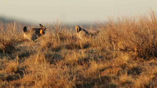 greater prairie chickens face off on lek northeast colorado - lek stock videos & royalty-free footage