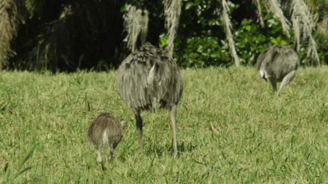 greater rhea chick (rhea americana) follows adults through grassland. - young bird stock videos & royalty-free footage