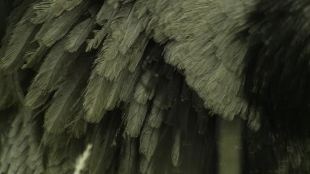 Greater rhea (Rhea americana) feathers wave in breeze.