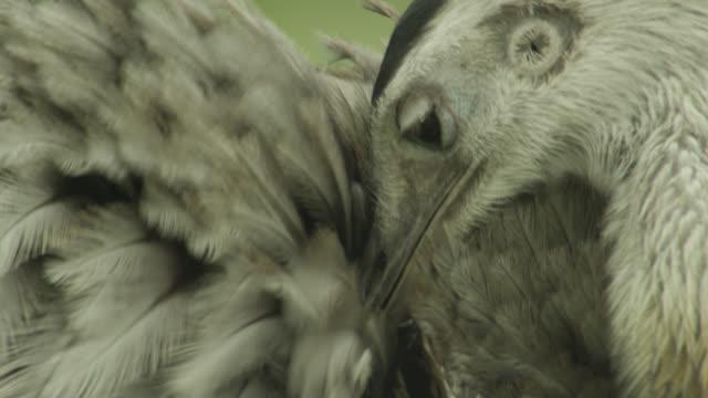 Greater rhea (Rhea americana) preens its feathers.