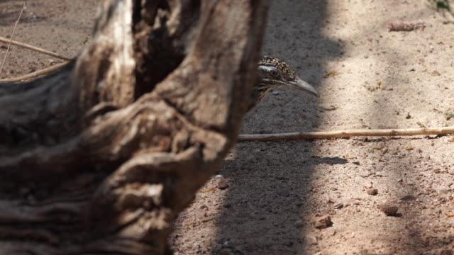 stockvideo's en b-roll-footage met greater roadrunner foraging - renkoekoek