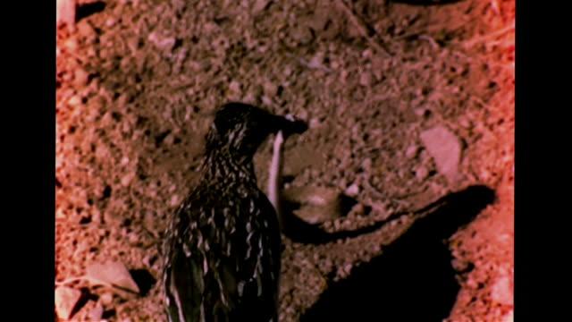 stockvideo's en b-roll-footage met hd ** greater roadrunner holding dead north american sidewinder in mouth whipping on rocky ground swallowing eating snake whole shadows predator/prey... - renkoekoek
