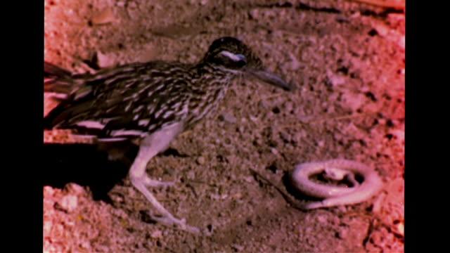 stockvideo's en b-roll-footage met greater roadrunner striking attacking north american sidewinder injured dying snake slowly crawling away on rocky land shadows predator/prey food... - renkoekoek