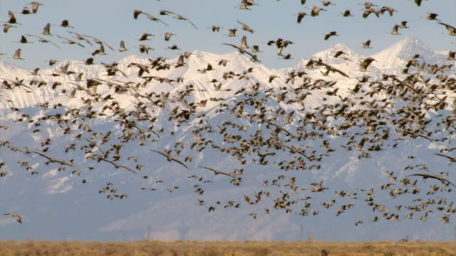 WS Greater sandhill cranes flying and landing with snowy mountain range backdrop / Monte Vista, Colorado, United States